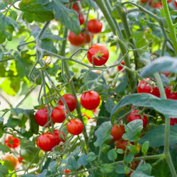 TOMATE CERISE BROWN BERRY